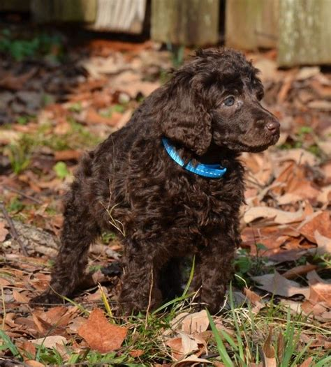 chocolate poodle puppy diana my chocolate standard poodle puppy standard poodles giraffes