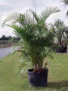 areca palm tree pretty flowers plants trees pinterest