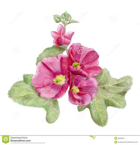 fiori disegnati a matita fiori rosa disegnati a mano della malva illustrazione di