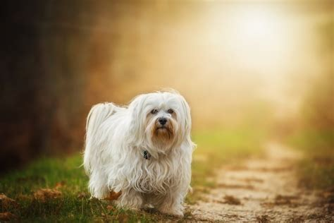 quietest breeds small breeds yes they exist 187 small dogs big hearts