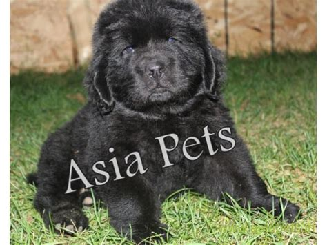 newfoundland price newfoundland puppy for sale in delhi best price newfoundland delhi india