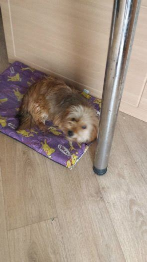 9 month yorkie yorkie cross approx 9 months dogs for adoption in kilmore dublin from xtinab