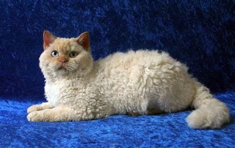 Cats And Shedding by Non Shedding Cat Breeds Cats Pictures Madelta