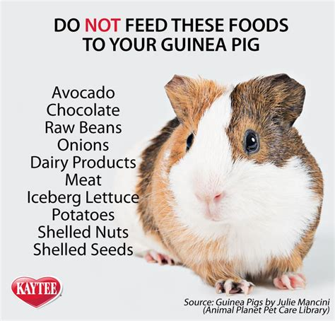 Do You Feed Your Food by Foods To Avoid Feeding To Your Guinea Pig All Pets No