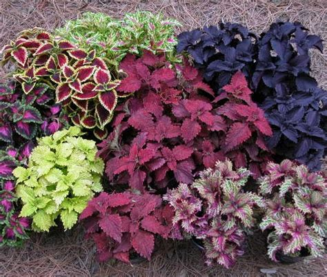 menumbuhkan tanaman hias coleus bibitbungacom