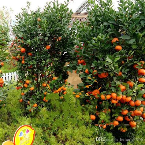 patio orange tree 2017 65xy fruit seed standing orange tree seeds