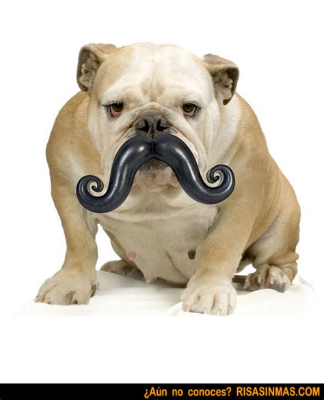 imagenes graciosas bulldog ingles im 225 genes divertidas de bulldog ingl 233 s