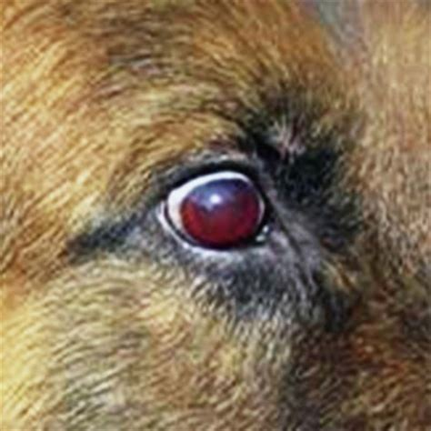 ehrlichia in dogs ehrlichia and anaplasma infections veterian key