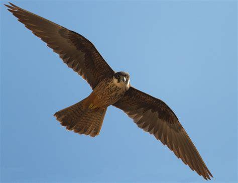 images of a falcon eleonora s falcon