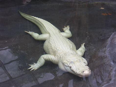 white crocodile antoine    rare white