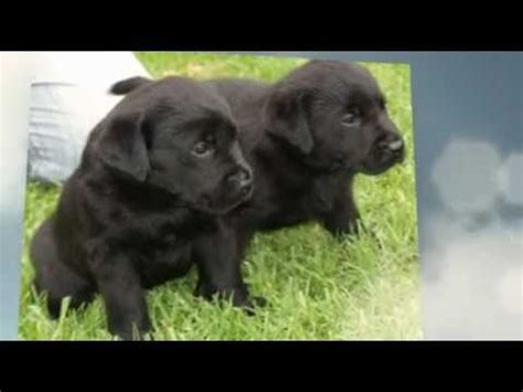 labrador puppies for sale wa labrador puppies for sale perth wa labradors