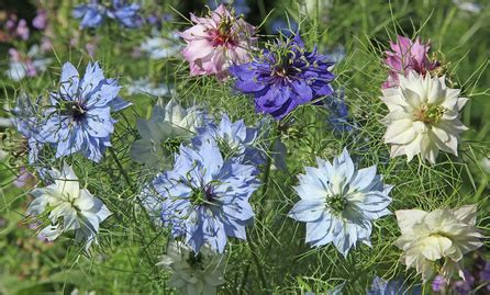 nigella flower  love   mist