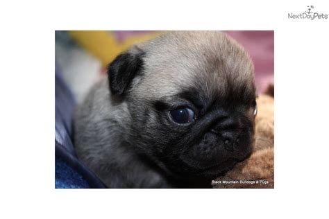 akc pug puppies pin akc pug on
