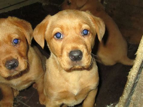 fox lab puppies for sale fox labrador for sale breeds picture