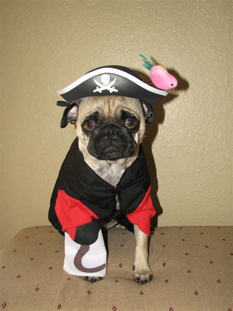 pug pirate costume argh