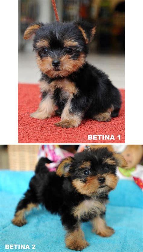 Jual Aksesoris Anjing Mini jual anjing terrier mini anjing dijual