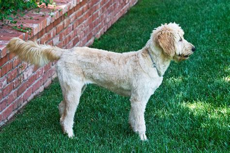 summer cuts golden doodle goldendoodle haircuts holly s summer haircut rpcrowe s