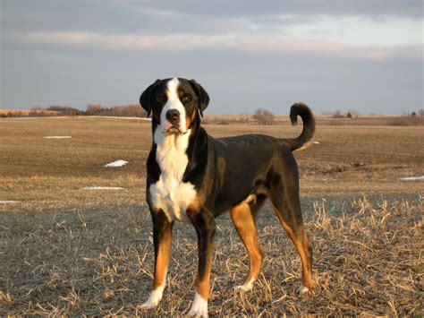 Do Swiss Mountain Dogs Shed by Pyrenean Mountain Breeds Breeds Picture
