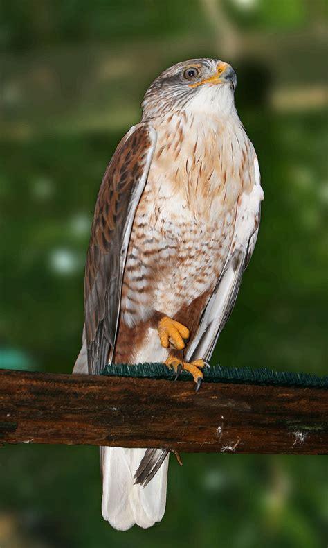 type of hawks in tn ferruginous hawk