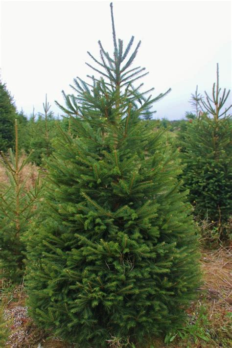 ge norway spruce 6 ft picea abies spruce cherry
