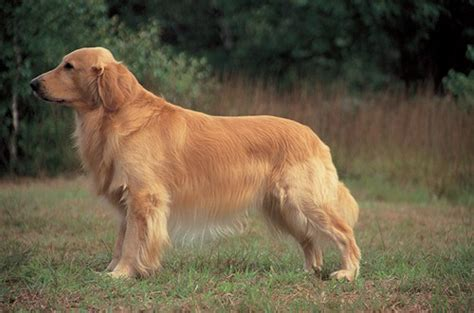 information on golden retriever 10 interesting golden retriever facts my interesting facts
