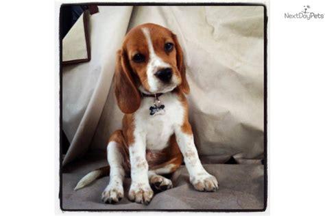 tick beagle puppies for sale beagle puppies for sale in the uk beagle puppies for sale in the uk breeds picture