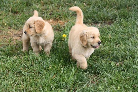 golden retriever puppies ks brenn family golden retrievers puppy pictures 2010