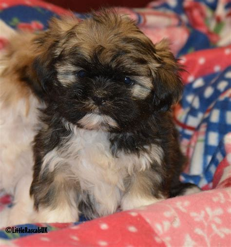 shih tzu boy shih tzu puppies for sale brown rascals pets ltd