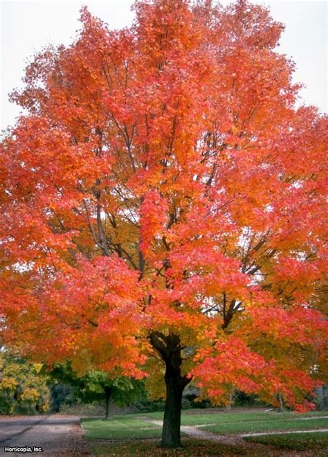 eastern redbud fall www pixshark com images galleries with a bite