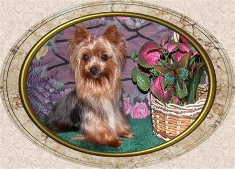 velvet touch yorkies page 5 velvet touch yorkies d o b height weight information