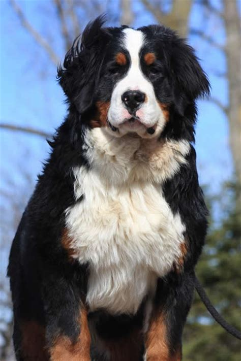 pictures of bernese mountain dogs bernese mountain dogs