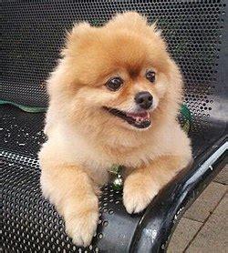 pomeranian caracteristicas pomerania perro la enciclopedia libre