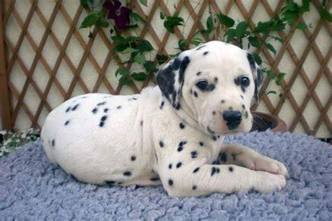 dalmation puppies for sale dalmatian puppies for sale bazar