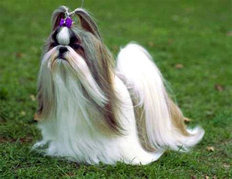 haired shih tzu dogs haired shih tzu breeds picture