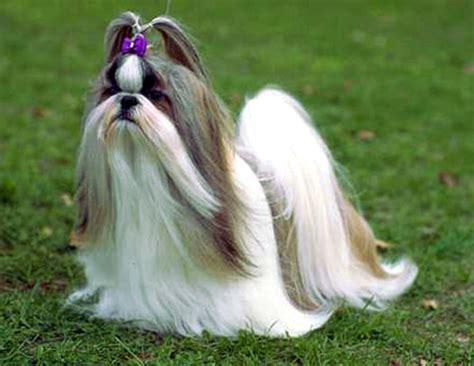find a shih tzu haired shih tzu breeds picture
