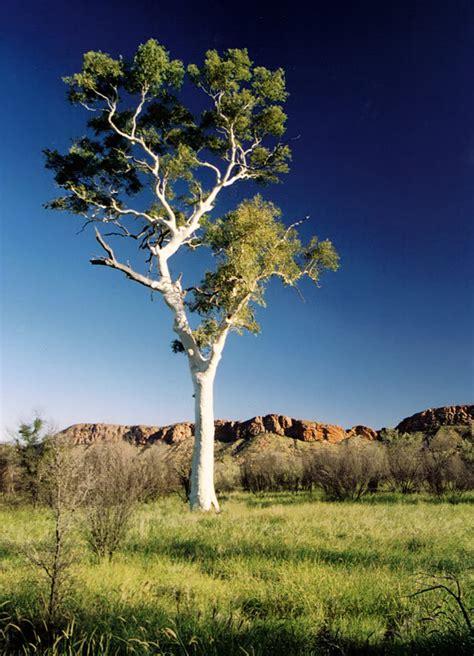 Eucalyptus Trees Eucalyptus Trees To Power Flight Earth S Energy
