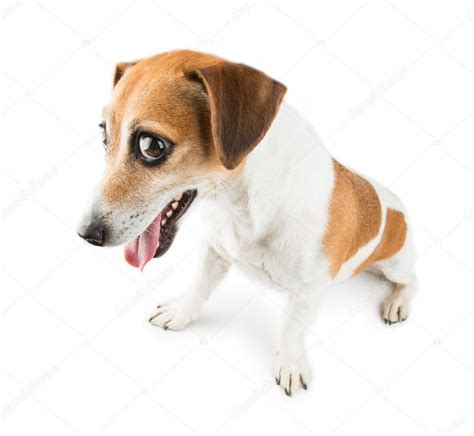 imagenes of jack russell jack russel terrier resentful dog stock photo