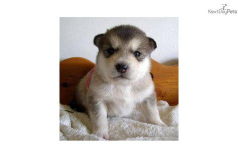 alaskan malamute puppies for sale in michigan alaskan malamute puppy for sale near flint michigan a3b8471c 8fd1