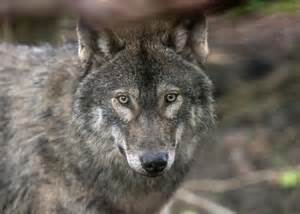 Tchotchkies why do wolves howl wolves do not howl at the moon