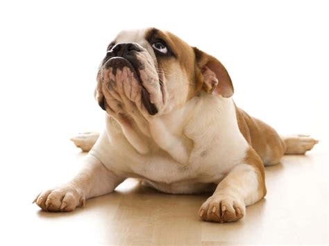 bulldog puppies ta bulldog bulldog dogs breeds pets