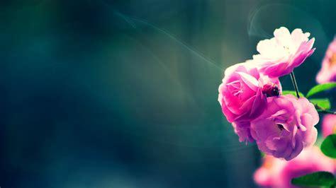 wallpaper pink free download free download beautiful pink rose wallpaper hd