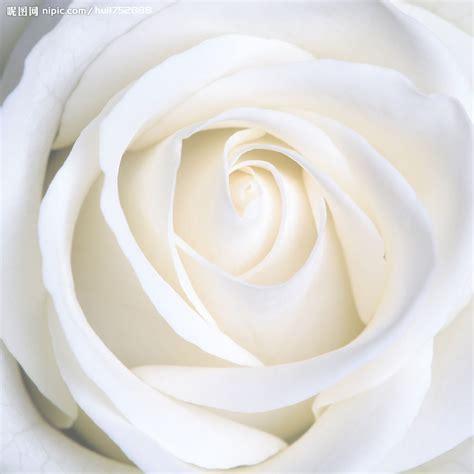 wallpaper flower white rose love 白色玫瑰花摄影图 花草 生物世界 摄影图库 昵图网nipic com