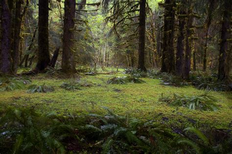 hoh forest floor photo dave petersen photography