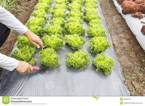 Vegetable Garden Cover Vegetable Garden With Plastic Ground Cover Stock Photo