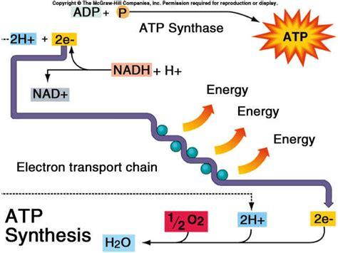 diagram of electron transport electron transport chain diagram simple