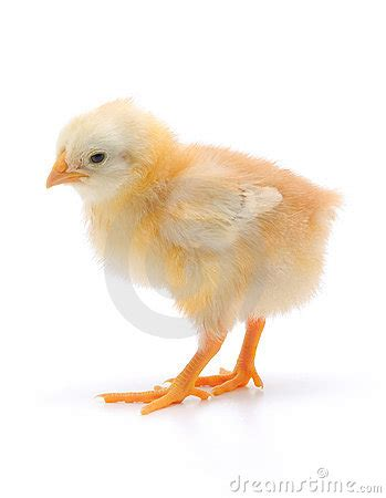 small chicken small chicken royalty free stock photography image 17522667