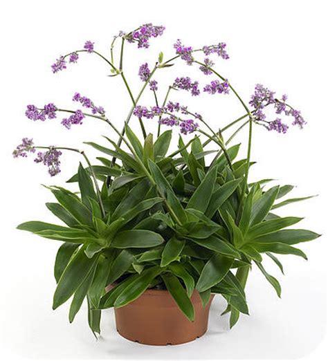 callisia bloemen callisia warszewicziana safira is een kuipplant met