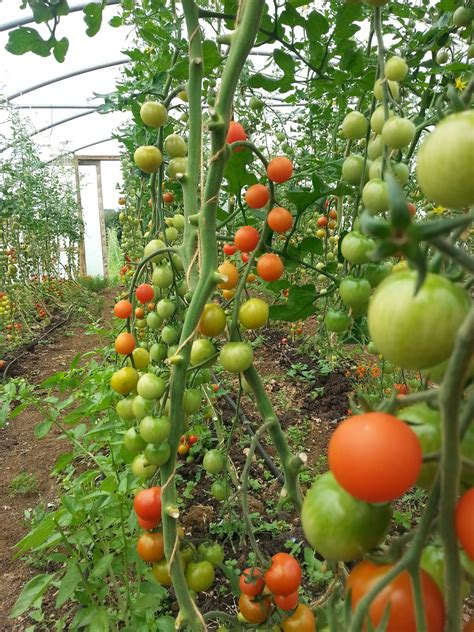 Find On Vine Why Organic Tomatoes Are Simply Better Westmill Organics