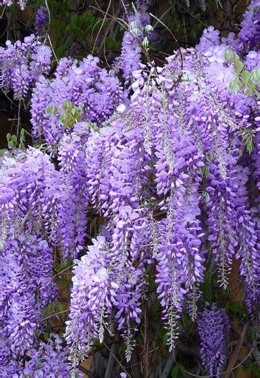 Il Glicine O La Glicine il glicine fiori e piante da piantare in primavera in