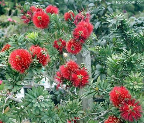 callistemon better toptropicals plants for home and garden